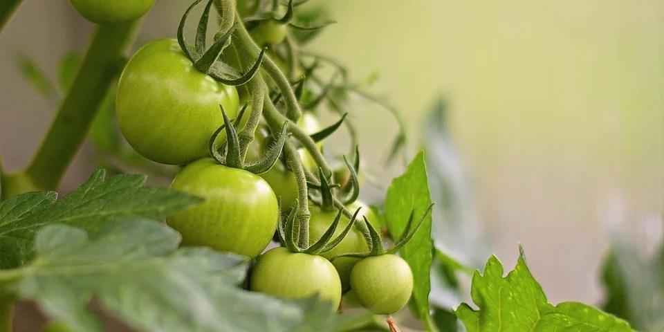 cultiver potager sous serre de jardin